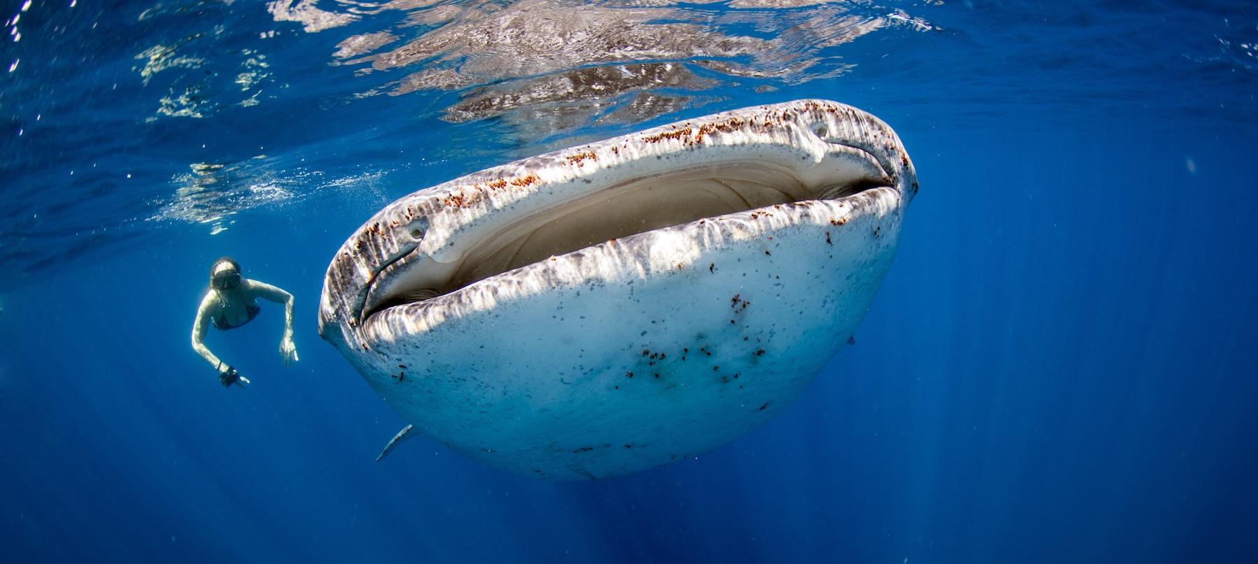 WHALE-SHARK 1800x800